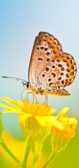 papillon_site.jpg