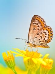 papillon181x241.jpg